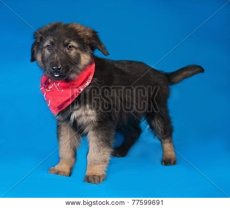 Black And Red Shaggy Puppy In Red Bandane Standing On Blue