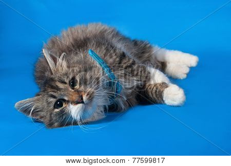 Fluffy Tabby And White Kitten In Blue Collar Lies On Blue