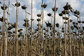 picture of life after death  - field of sunflowers after harvesting in the fall in Bulgaria - JPG