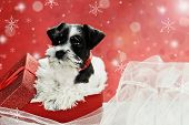 pic of christmas puppy  - Cute little black and white Mini Schnauzer puppy peeping out of a beautiful red festive Christmas present - JPG