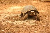 stock photo of testudo  - Crawling tortoise in the nature at the zoo - JPG