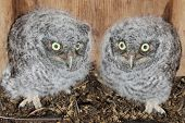 image of screech-owl  - Baby Eastern Screech - JPG