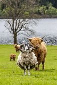 foto of incredible  - Incredible scottish cattle and sheep  - JPG