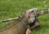 stock photo of guayaquil  - Green Iguana in Parque Seminario in Guayaquil Ecuador - JPG