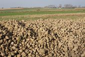 pic of root-crops  - Sugar Beet Beta vulgaris crop heap harvested roots - JPG