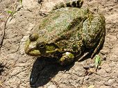 foto of wart  - Common toad or European toad on a sandy ground - JPG