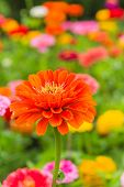 pic of zinnias  - Vibrant orange zinnia in the summer garden - JPG