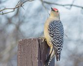 stock photo of woodpecker  - Male red - JPG