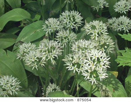 Wild Ramsons (Alium Ursinum).