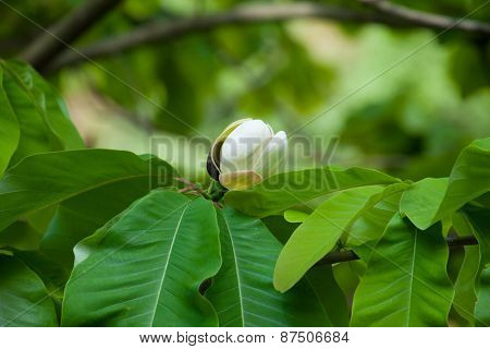 Big leaves and white flower bud of Magnolia obovata (Japanese bigleaf magnolia, or Japanese whitebark magnolia) .