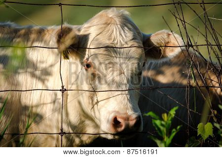 White Cow Looking Through Wire Fence