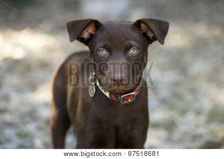Brown Puppy Dog Ourdoors Staring With Big Green Eyes