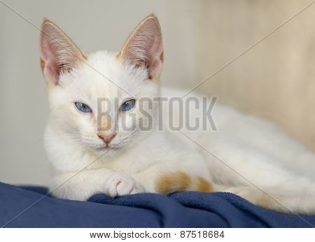 Cute White Kitten Blue Eyes Serious Curious Looking Stare