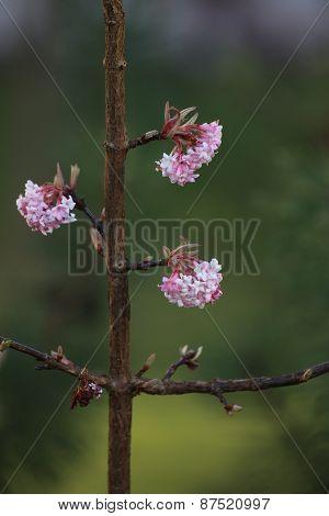Bodnant Viburnum Blossom