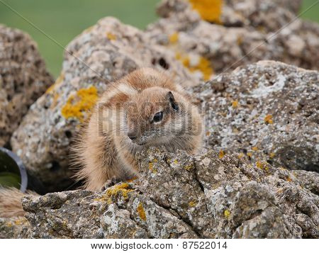 Barbary ground squirrel