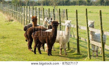 Group of Alpacas standing by a fence brown white