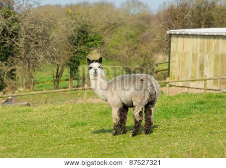 Gray and white alpaca stood and looking to camera in field