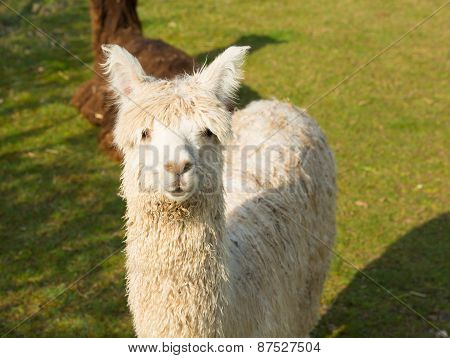 South American animal an Alpaca like llama standing in a field looking to camera