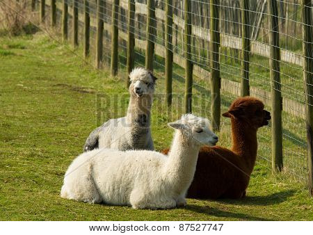 Group of Alpacas by a fence brown white