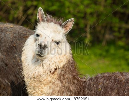 Alpaca cute animal with smiley face
