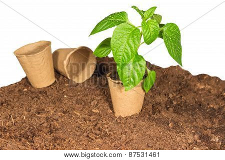 The Seedling In A Peat Pot Is On The Ground