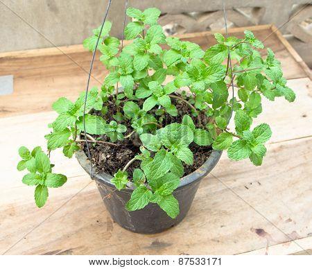 Fresh Mint Herb In A Pot