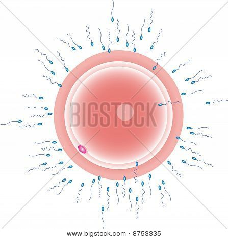 sperm cells reaching an ovum