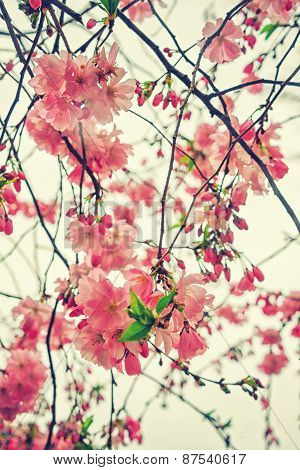 Beautiful flowering Japanese cherry - Sakura. Flowers on a spring day on soft background. Vintage co