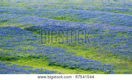 Bluebonnet Field In Texas