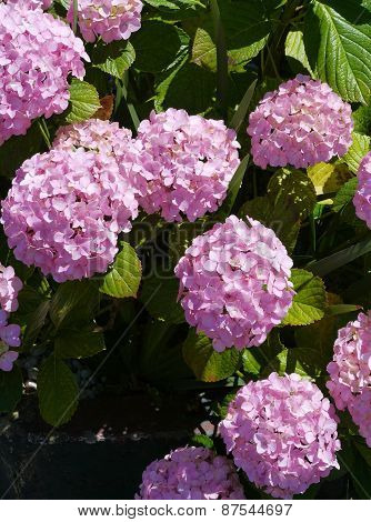 Pink flowering hortensia flowers