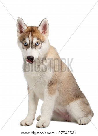Siberian Husky puppy licked