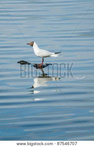 Seagulls Reflection