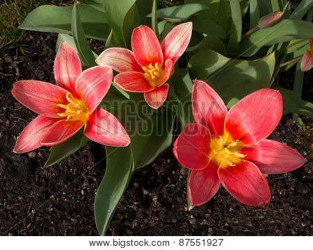 Three blooming red tulips in a flower bed