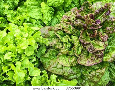 Fresh Lettuce Growing In The Garden