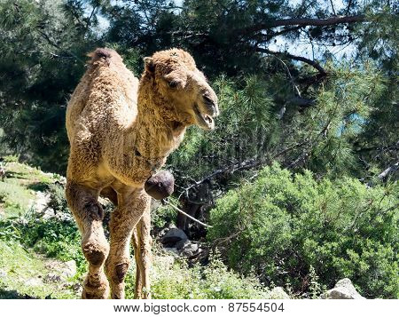 Camel In The Forest