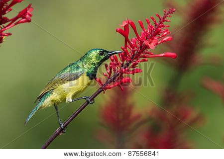 Collared Sunbird (hedydipna Collaris) Stealing Nectar From A  Flower