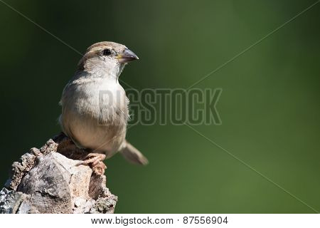 House Sparrow (passer Domesticus) Perched On A Log