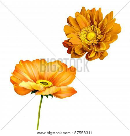 Tender orange poppy flower isolated on white background, very beautiful bright orange flower