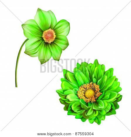 illustration of Bright green colorful Dahlia flower, Spring flower.Isolated on white background.