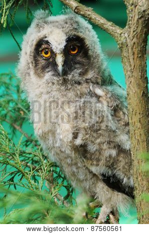The little Owlet is sitting on a branch and looking at the camera