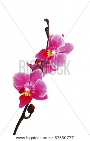 Flower Beautiful Pink Orchid - Phalaenopsis Isolated On White
