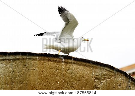 Gulls In The Roman Fontain In Rome, Italy