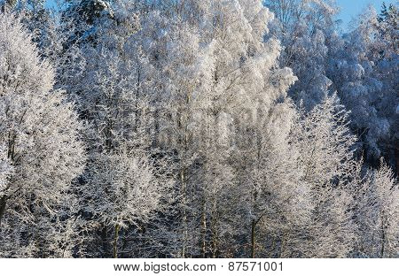 Snow Covered Trees Branches