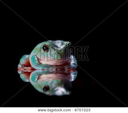 grünen Laubfrosch sitzt auf gespiegelten Oberfläche