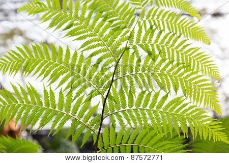 botany, nature, biology and flora concept - green fern frond