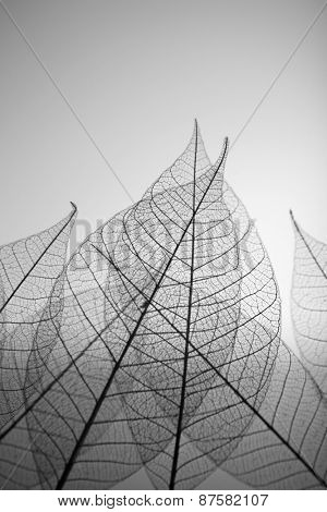 Skeleton leaves on grey background, close up