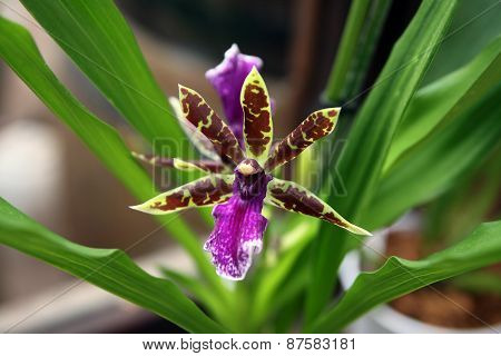 Orchid Ancistrochilus