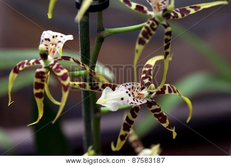 Orchid Cycnoches