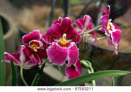 Orchid Miltoniopsis