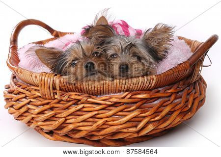 Cute Yorkshire Terrier Puppies Dressed up in Pink